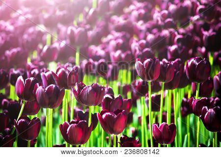 Beautiful Violet Or Purple Tulips On Spring Garden. Field Of Blooming Purple Tulips. Vibrant Purple