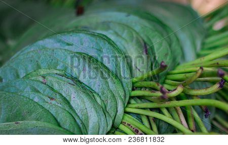Betel Pan Leaves Stacked For Sale In Market In India Pan