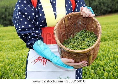 Young Japanese Woman With Traditional Clothing Kimono Harvesting Green Tea Leaves On Farmland