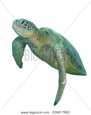 Green Turtle isolated on white background