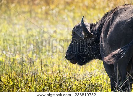 Closeup Of A Lone Water Buffalo In A Cloud Of Flies / Insects. Swaziland