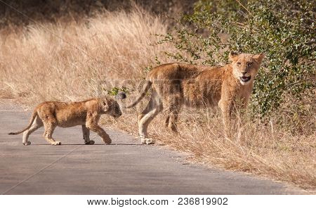 Lion And Cub Crossing A Road In Kruger National Park, South Africa