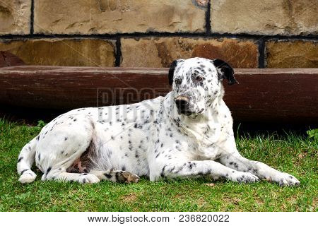 Dog Lying Down In The Yard. Outdoors Portrait Of Serious Dalmatian Dog Lying And Resting Down On The
