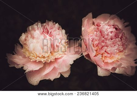 Peonies Blooming In The Garden Closeup Against A Dark Background, Stylized Treatment, Light And Shad