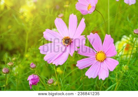 Summer Flower Landscape Scene With Pink Cosmos Flowers - In Latin Cosmos Bipinnatus - At The Summer