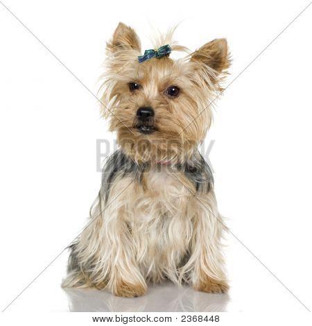 Yorkshire Terrier (2 Years)