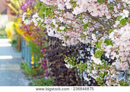 Row Of Branches With Springtime Blossoms Along Garden Fences