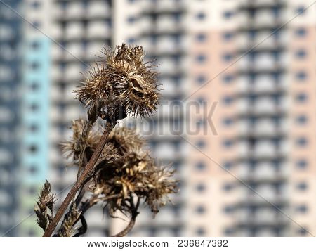 Urban Life Background, Environment Day Or Drought Concept. Dry Thistle Thorns On A Blurred Backgroun