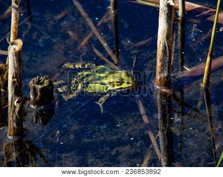 Single Frog Waiting In The Water For Camuflage