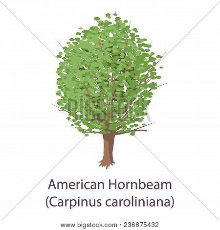 American Hornbeam Icon. Flat Illustration Of American Hornbeam Vector Icon For Web