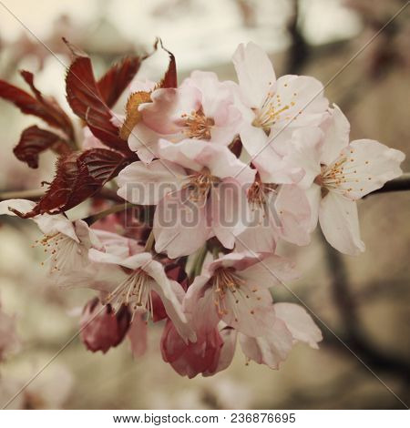 Cherry Flowers In Bloom. Aged Photo. Flowers Bloom In Spring Season. Sakura Blossom Time. Blossoming