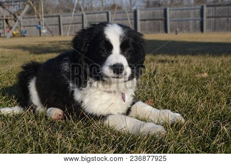 Black And White Border Collie Puppy Laying In The Grass Outside