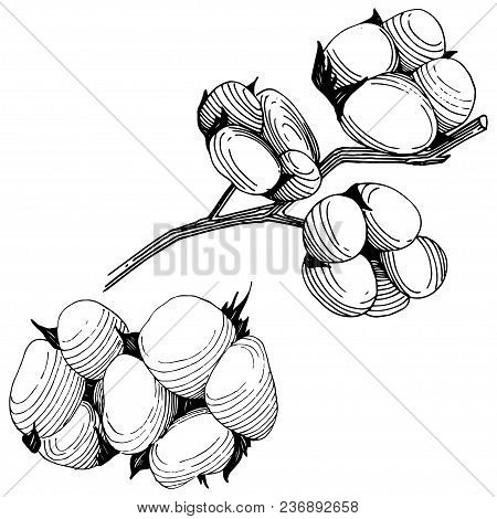 Wildflower Cotton  Flower In A Vector Style Isolated. Full Name Of The Plant: Cotton . Vector Wildfl