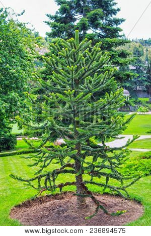 Araucaria Araucana Or Chilean Pine - Evergreen Conifer Tree With Soft Needles, Growing In A Garden