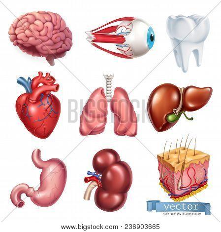 Human Heart, Brain, Eye, Tooth, Lungs, Liver, Stomach, Kidney, Skin. Medicine, Internal Organs. 3d V