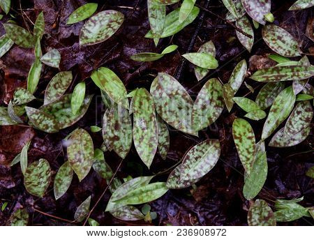 Detail Of Green And Purple Spotted Trout Lily Leaves Emerging In A Spring Forest.