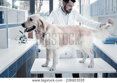 Professional Checkup. Nice Smart Handsome Doctor Looking At The Dog And Holding Its Tail While Doing