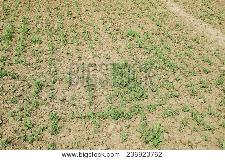 Pea Shoots On The Field. Young Stalks Of Peas.