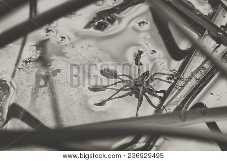 Large Water Spider Dolomedes Plantarius, Close-up In A Natural Environment. Raft Spider Great Royal