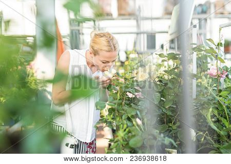 Beautiful Female Customer Holding And Smelling Blooming Yellow Potted Roses In Greenhouse.