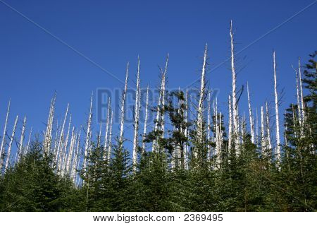 Devastation Of Eastern Hemlock