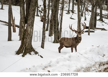 This Wapiti Was Waiting In The Snow, Forest Before Crossing The Road.