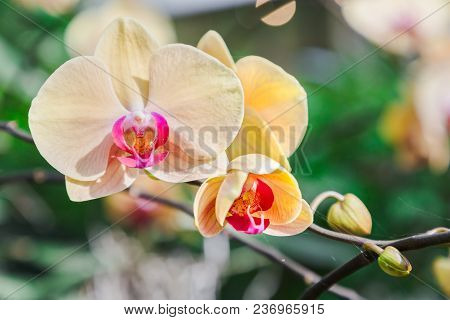 Orchid Flower In Orchid Garden At Winter Or Spring Day. Orchid Flower For Postcard Beauty Agricultur