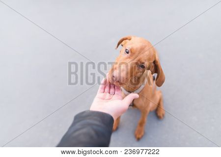 A Beautiful Dog Eats Food From The Hands Of A Man On The Background Of Urban Asphalt.