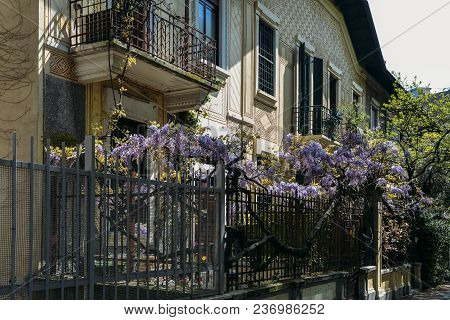 Flowering Wisteria Plants On House Wall Background. Natural Home Decoration With Flowers Of Chinese