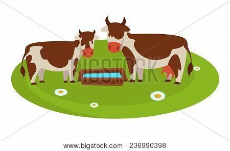 Cows With Wooden Trough Full Of Water On Grass Field With Chamomiles. Domestic Animals That Produce