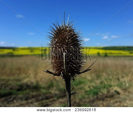 Thistle With Rural Spring Landscape And Blue In The Sky