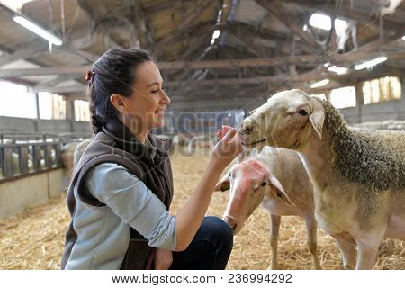 Farmer woman in shed petting sheeps