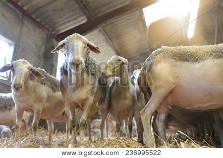 Herd of sheeps in sheep fold
