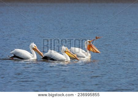 An American White Pelicans Lead Two Others On A Boring Swim. The Lead Pelican Yawns As They Paddle C
