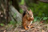 close-up photo of small red fluffy European squirrel eating seeds in summer forest poster