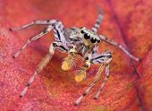 A tiny jumping spider is sitting on a fall leaf. poster