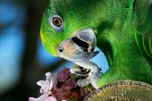 Green amazon parrot with a branch of cherry blossom poster
