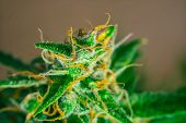 Macro buds of marijuana trichomes cbd thc. Concepts of legalizing medicinal herbs weed, bud cannabis, Macro shot with sugar , buds grown cannabis in the house, Bud cannabis before harvest poster