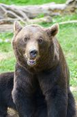 Close up of a grizzly bear, Pyrenees, France. Bear in captivity. poster