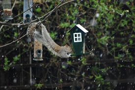 A Grey Squirrel Raids A Bird Feeder In A Tree, With Light Snow Falling. Taken In Upton-by-chester, E