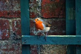 A Robin (erithacus Rubecula) Stands On A Battered Green-painted Trellis With A Vintage Brick Wall In