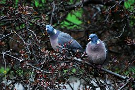 Pair Of Wood Pigeons In Tree With Out-of-focus Road, Red Brick Wall And Grass In Background. Taken I