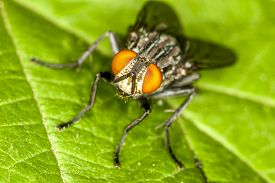 Housefly,musca Domestica  Is A Fly Of The Suborder Cyclorrhapha.