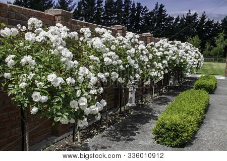 English Box Hedge Growing In Front Of A Row Of Magnificent Profuse Bloom Of Standard Iceberg Roses S