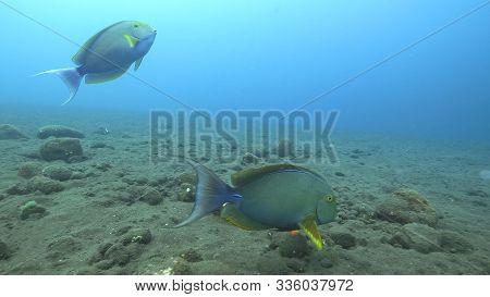 Close Up Of Elongate Surgeonfish At The Liberty In Tulamben, Bali