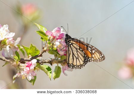 Monarch butterfly feeding on pink and white apple flowers in early spring sun