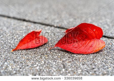 Two Red Leaves Lay O The Concrete Floor. The Bigger One Is In Focus, While The Second Leaf Goes Slig