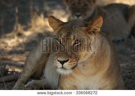 Lioness (panthera Leo) Laying In Sand In Kalahari Desert. Lioness Have A Rest In The Shade Of Kalaha