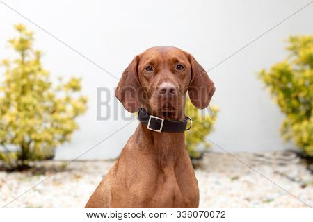 Hungarian shorthaired dog in the garden