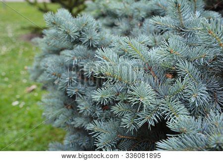 Colorado Blue Spruce Branches As A Textured Background. Blue Spruce, Colorado Spruce Or Colorado Blu